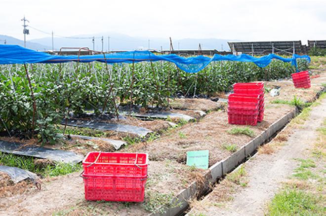 奈良・天理の自社畑では低農薬にこだわりながら、茄子やイチゴを20年以上に渡り育てています。
